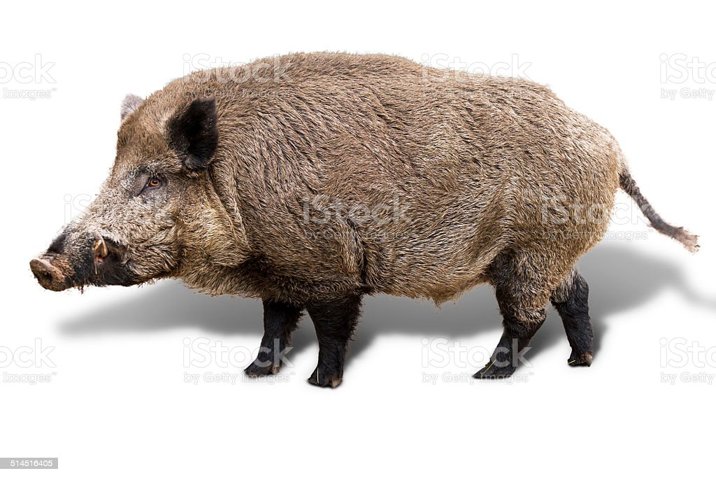 Wild boar on white stock photo