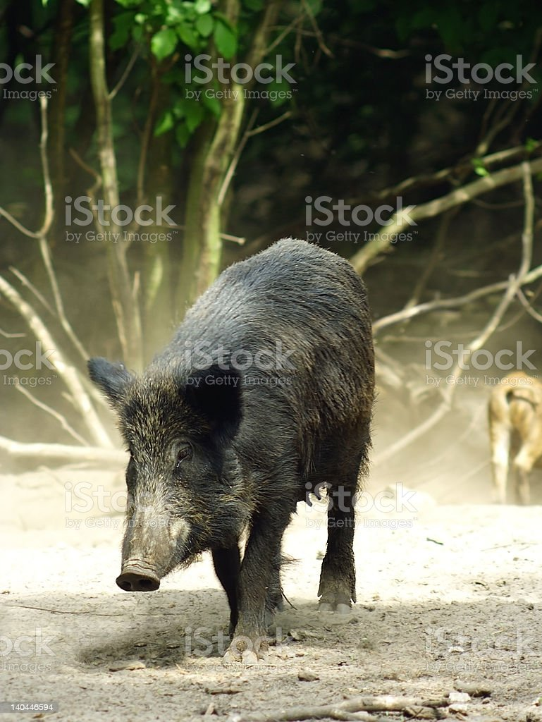 Wild Boar ( Sus scrofa ) stock photo