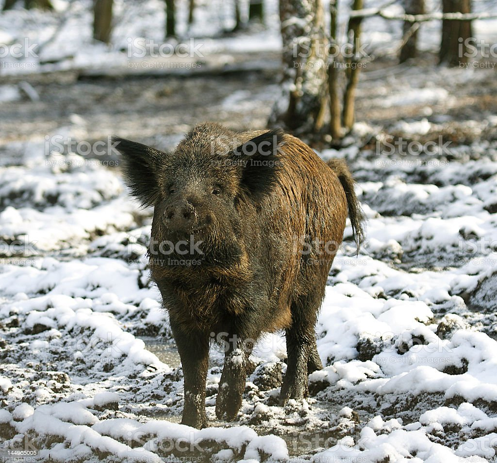 Wild Boar ( Sus scrofa ) royalty-free stock photo