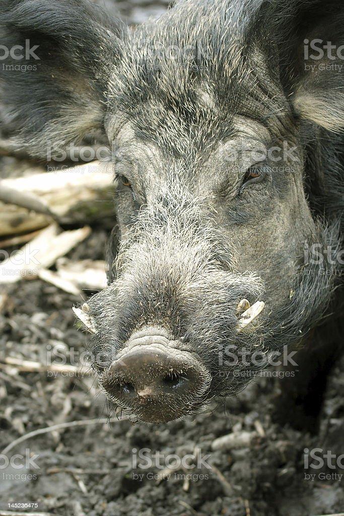 Wild Boar ( Sus scrofa ) royalty-free stock photo