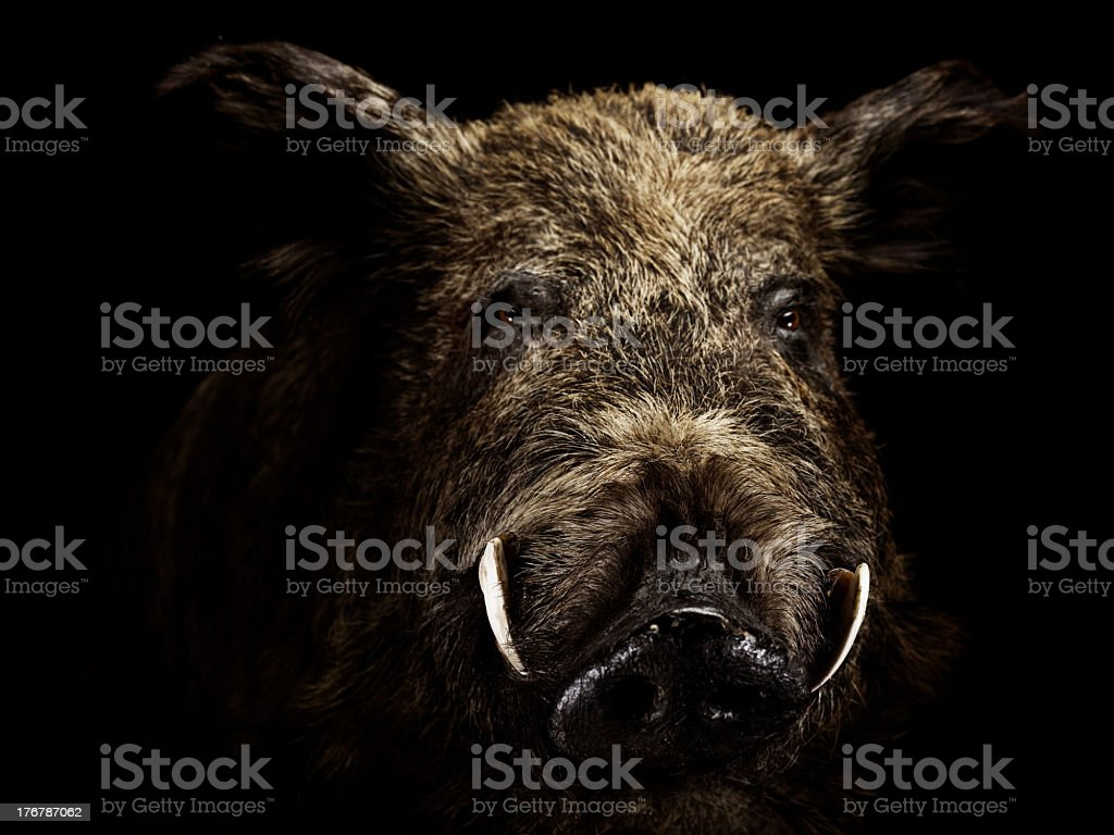 Wildschwein stock photo