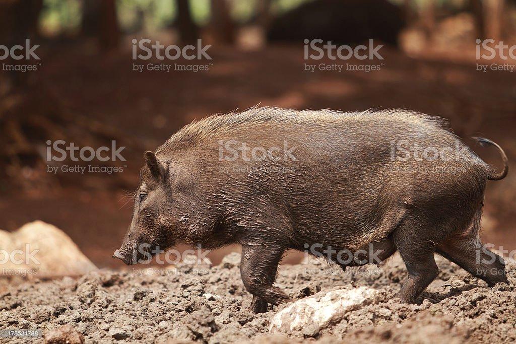 Wild boar royalty-free stock photo