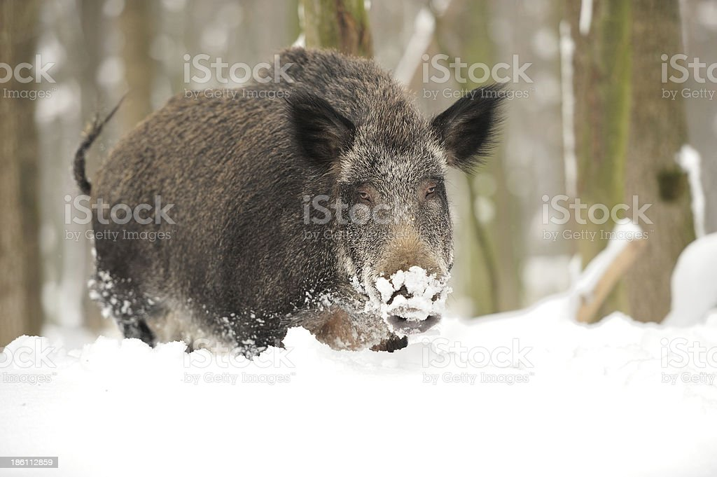 Wild boar royalty-free stock photo