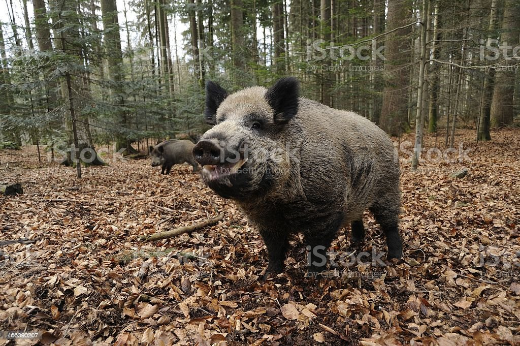 Wild boar (Sus scrofa) stock photo