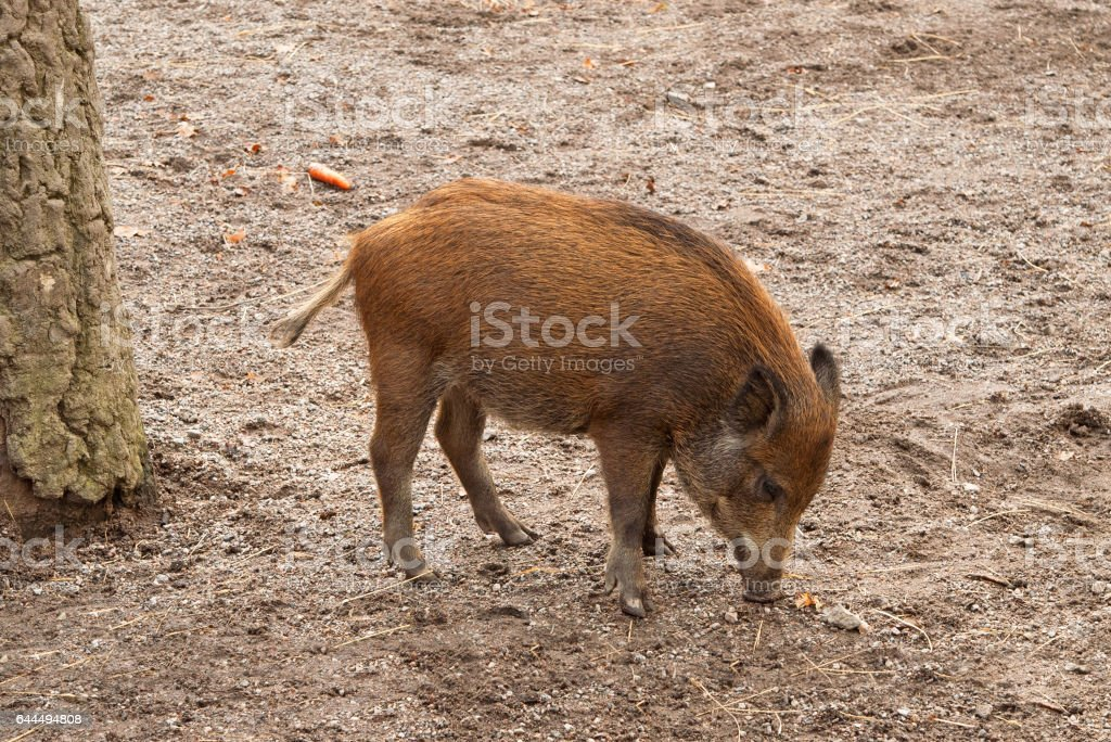 Wild Boar piglet in Skansen, Stockholm, Sweden stock photo