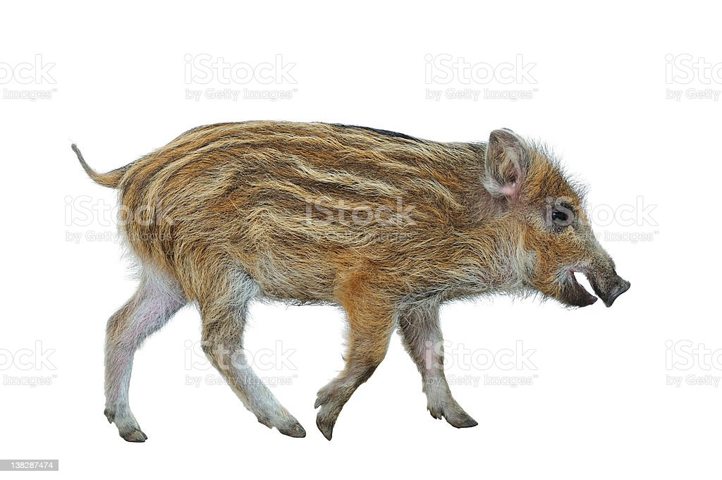 Wild Boar Piglet (Sus scrofa) stock photo