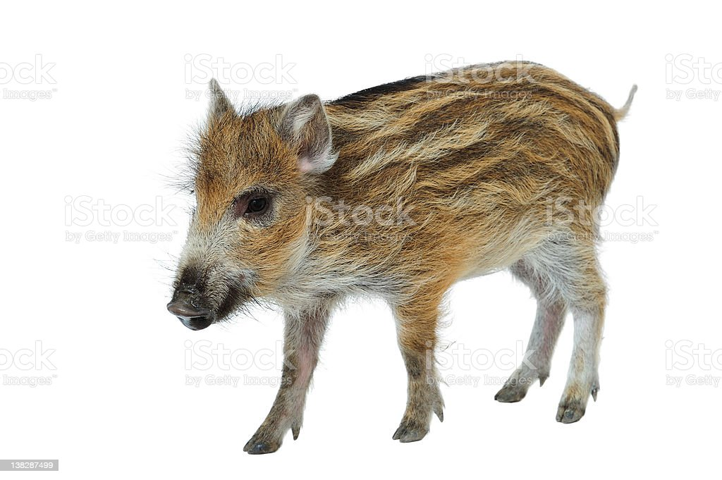 Wild Boar Piglet royalty-free stock photo
