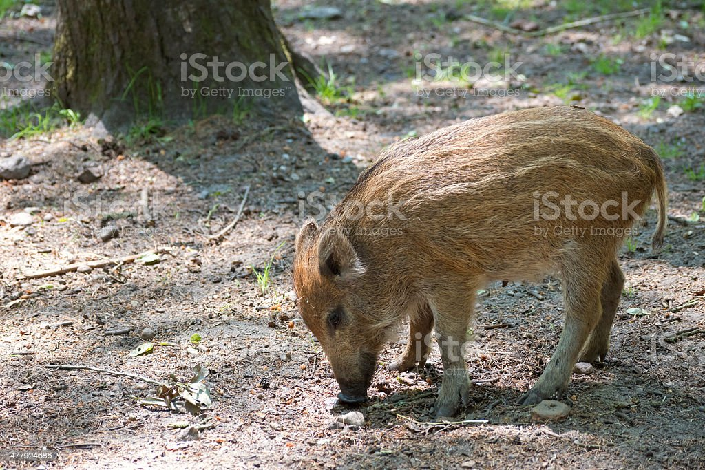wild boar piglet stock photo