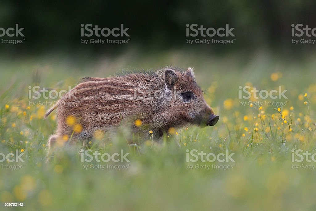 Wild boar piglet with blossoming flowers stock photo