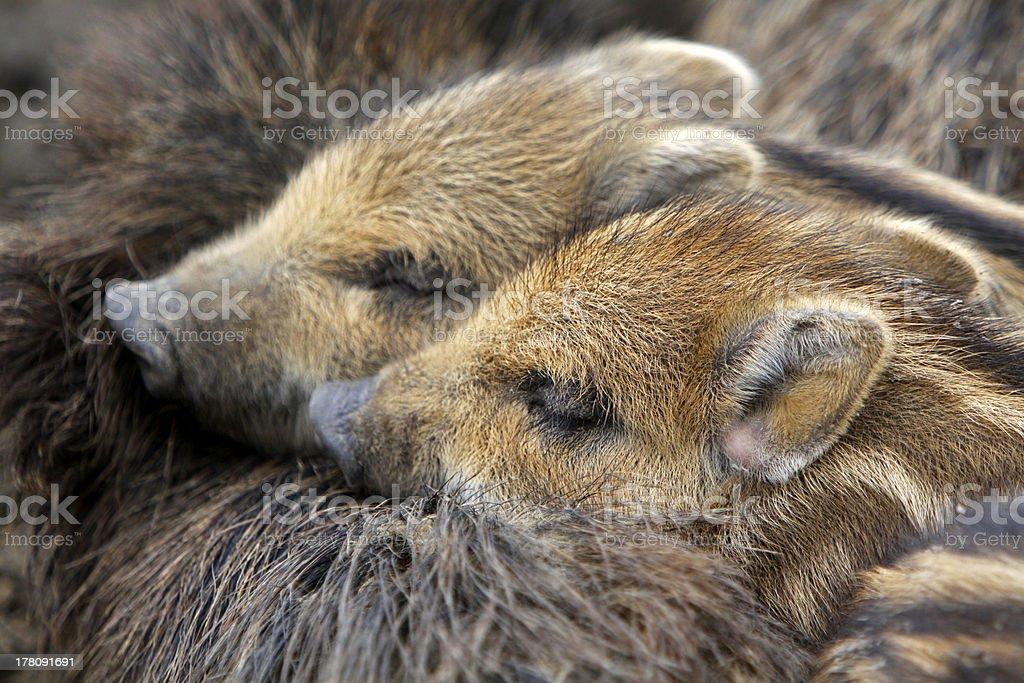 Wild boar piglets stock photo