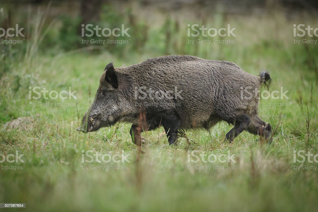 Wild boar running stock photo