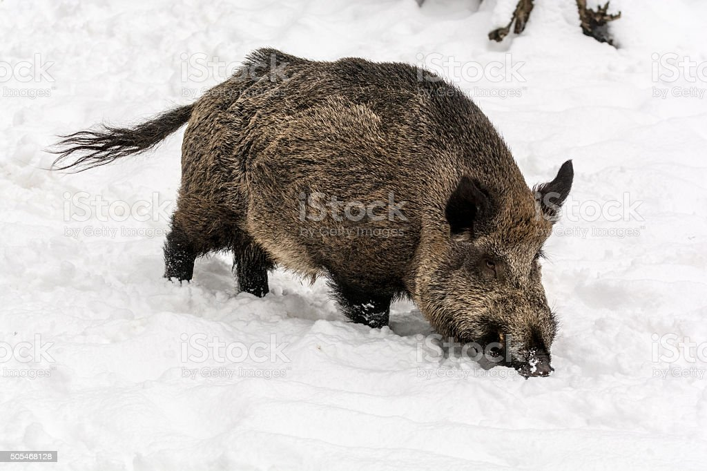 Wild boar sniffing in search of food stock photo