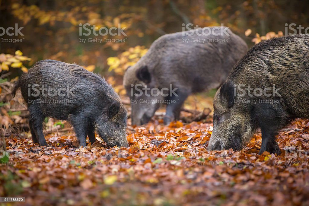 Wild boar sounder in autumn wood stock photo