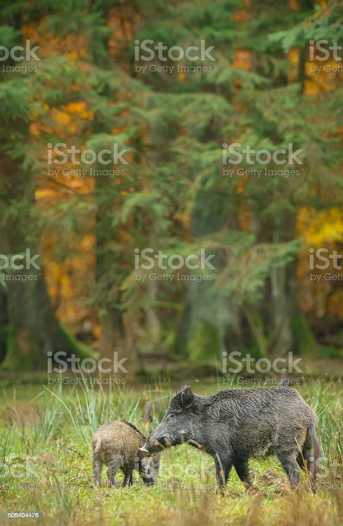 Wild boar sounder in German forest stock photo