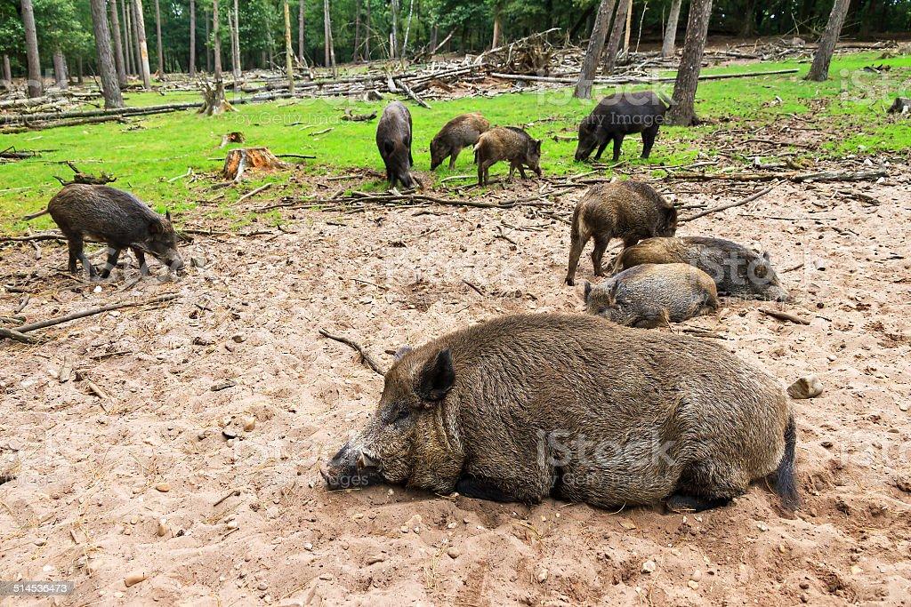 Wild boar sounder stock photo