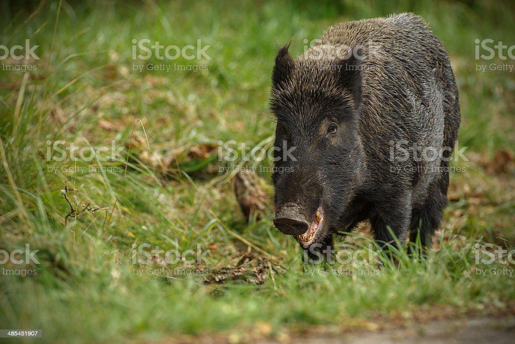 Wild boar sow munching acorns stock photo