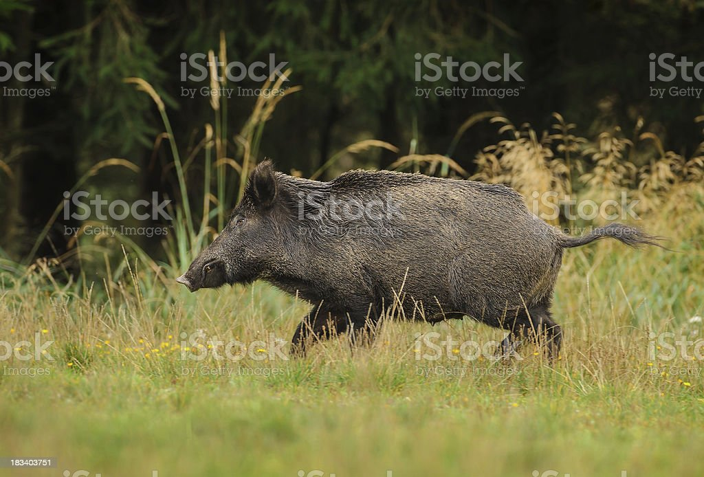 Wild boar sow running for cover stock photo