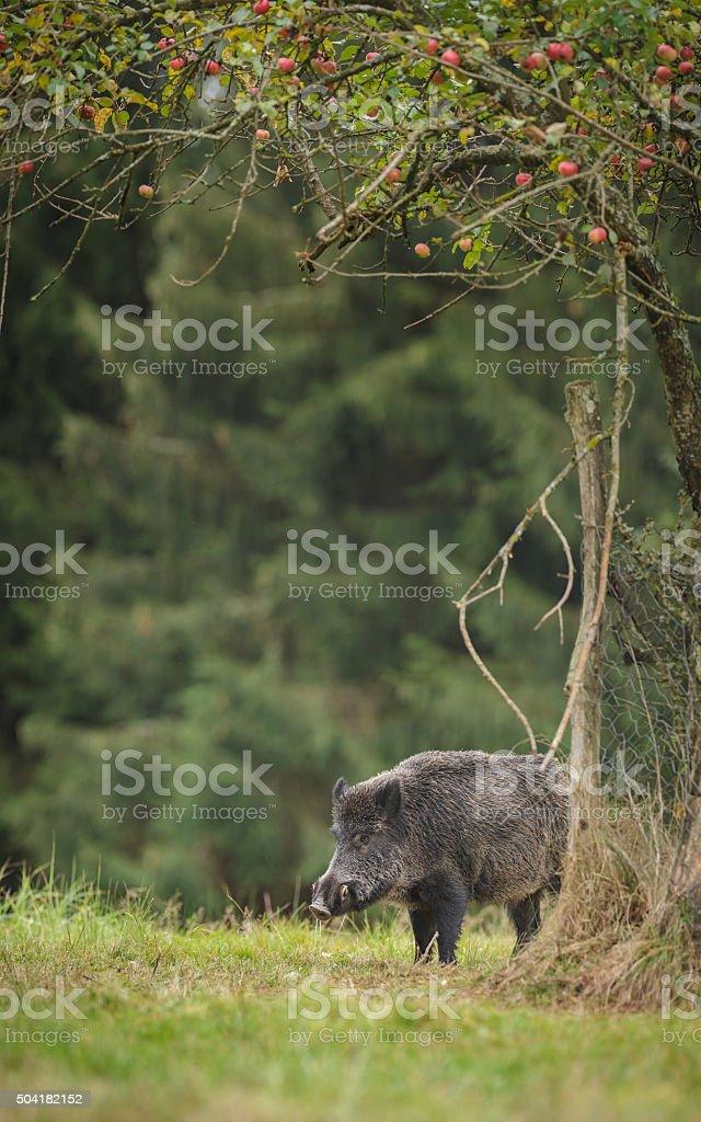 Wild boar waiting stock photo