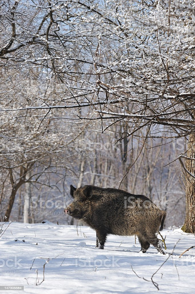 Wild boar walking across the snow in the woods royalty-free stock photo