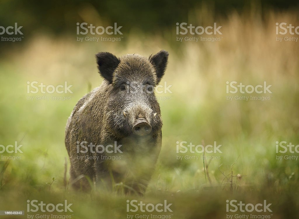 Wild boar walking through forest stock photo