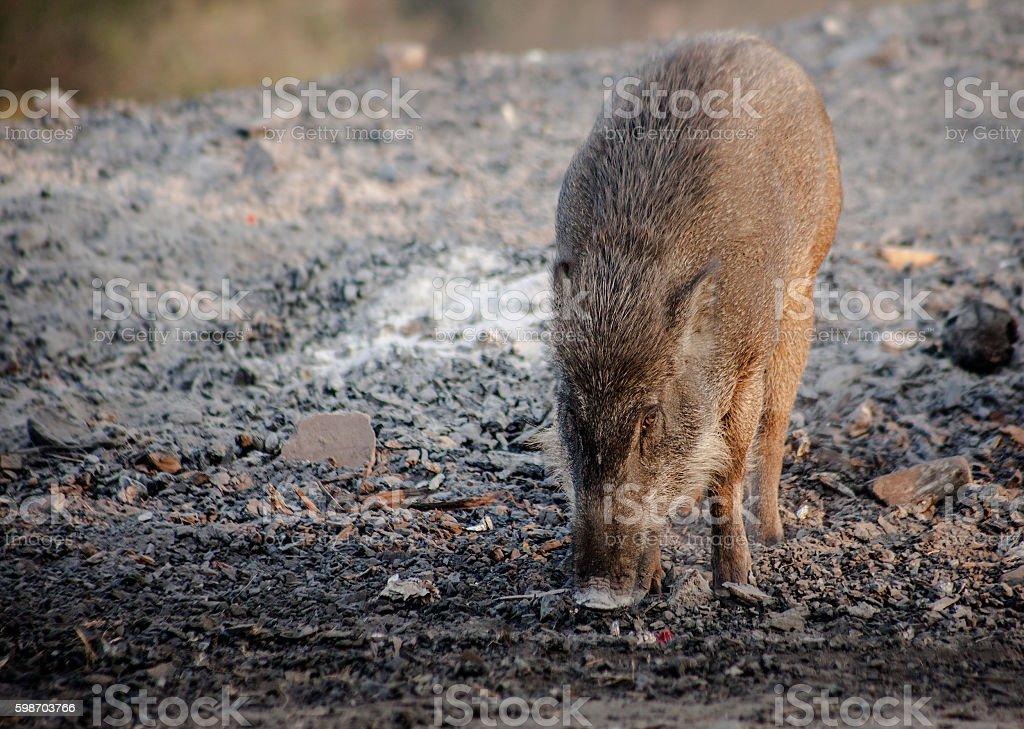 Wild boar watching in meadow stock photo