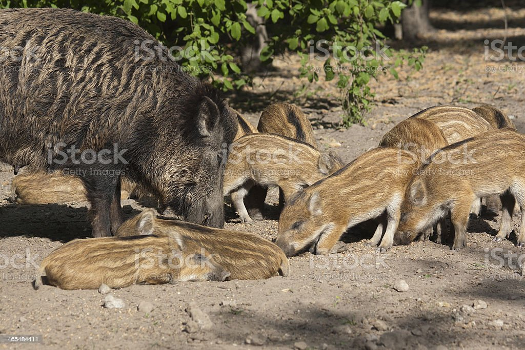 Wild boar with baby piglets, foraging stock photo