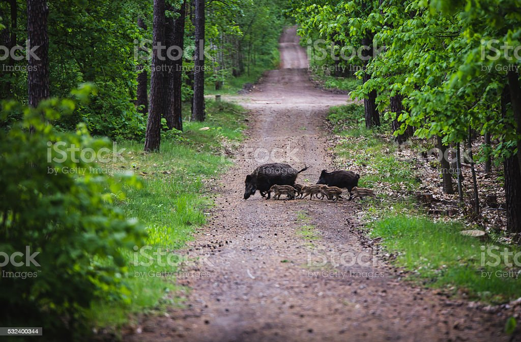 Wild boar with rookies stock photo