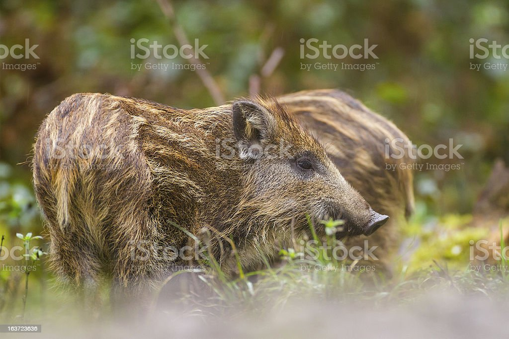 Wild boar young in long grass stock photo