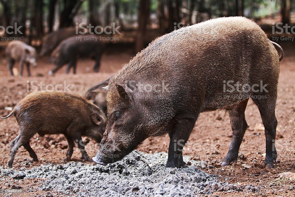 Wild boars royalty-free stock photo