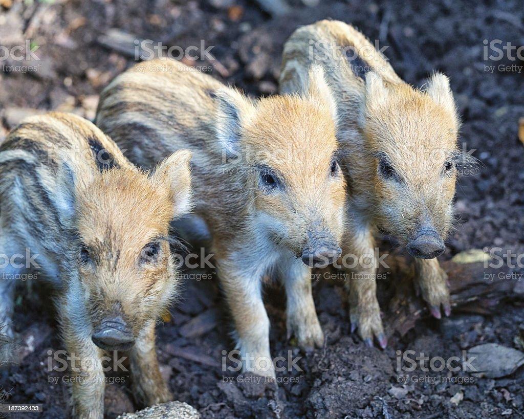 Wild boars royalty-free stock photo