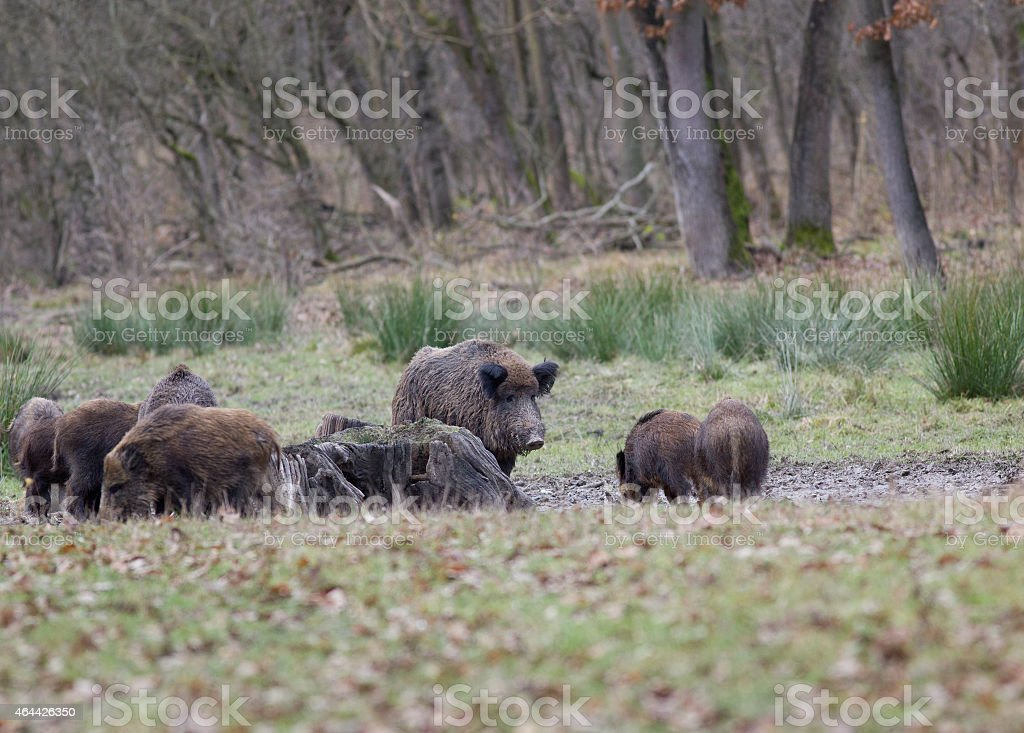 Wild boars (sus scrofa ferus) stock photo