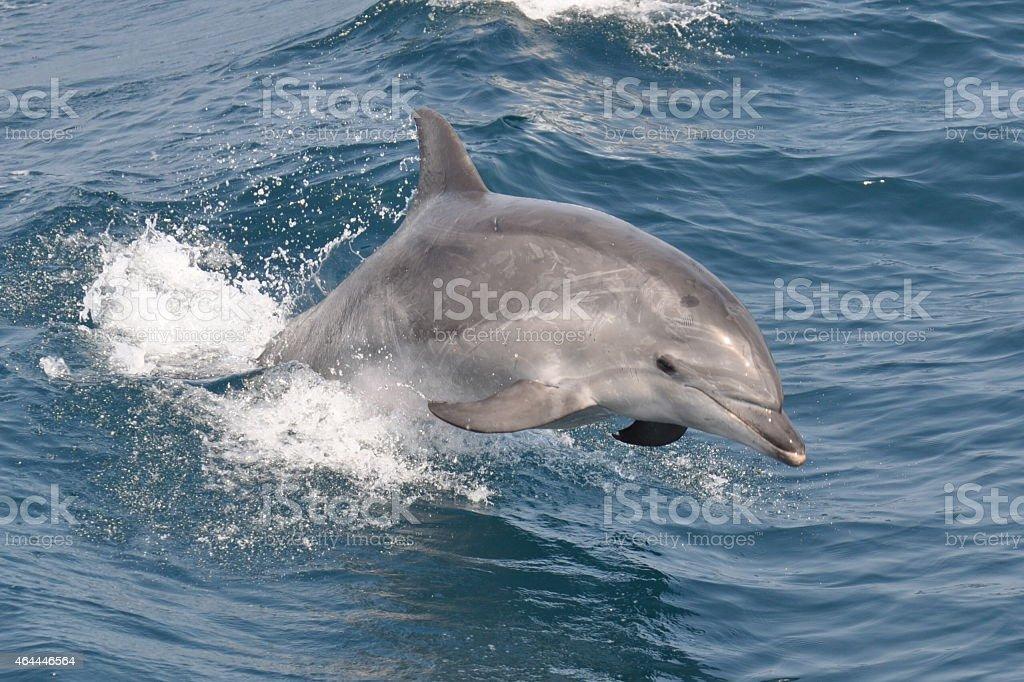 Wild Bottlenose Dolphin stock photo