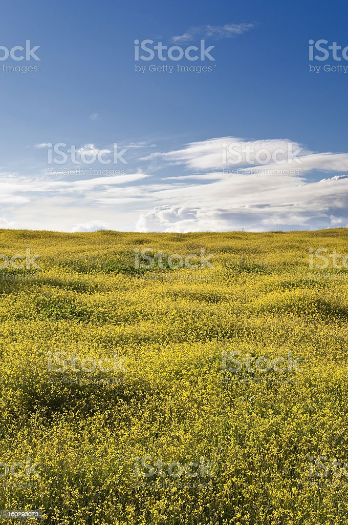 Wild brassica royalty-free stock photo