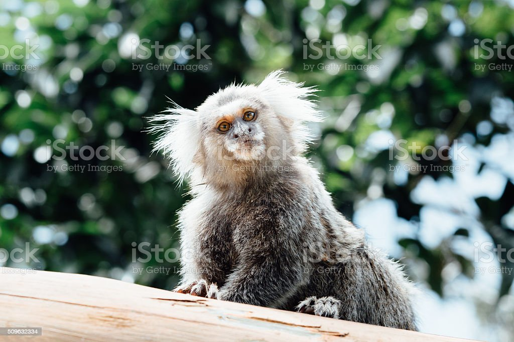 wild brazilian marmoset monkey looking courious from wooden fence stock photo