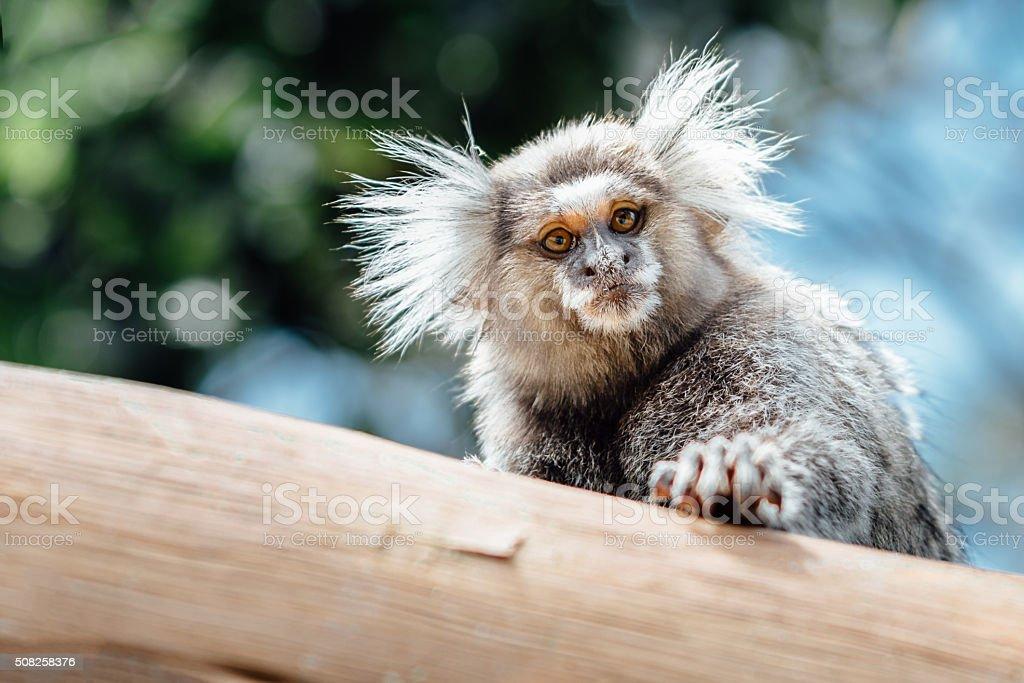 wild brazilian marmoset monkey looking from wooden fence stock photo