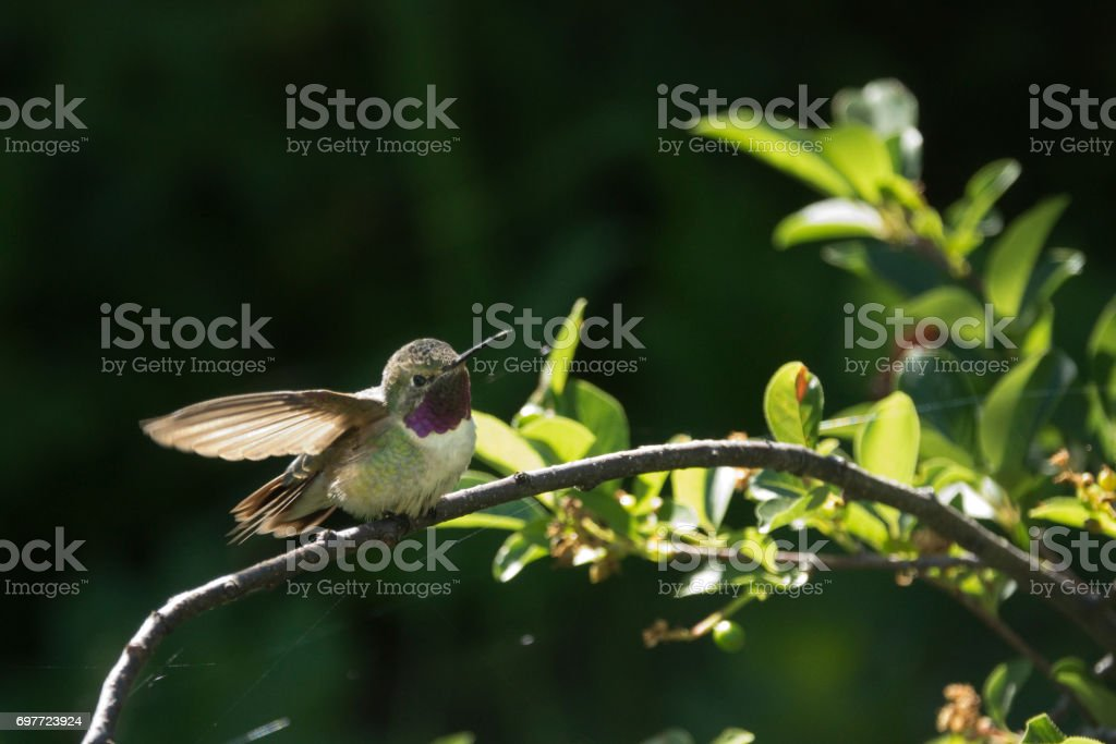 Wild broad-tailed hummingbird stretches wings Deer Creek Canyon Park Littleton Colorado stock photo