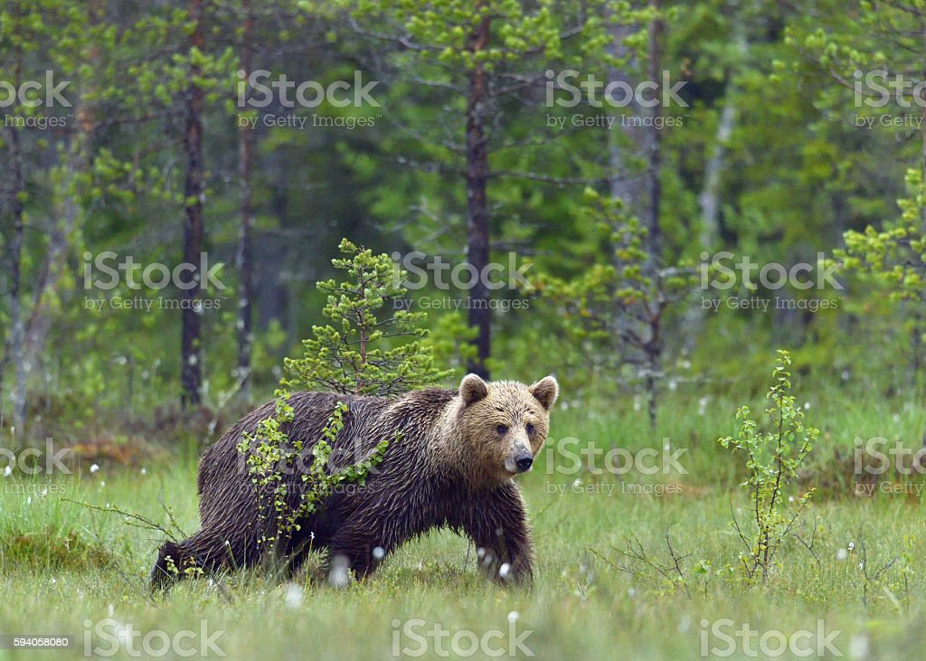 Wild Brown bear stock photo
