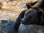 Wild Brown Bear - Sweden