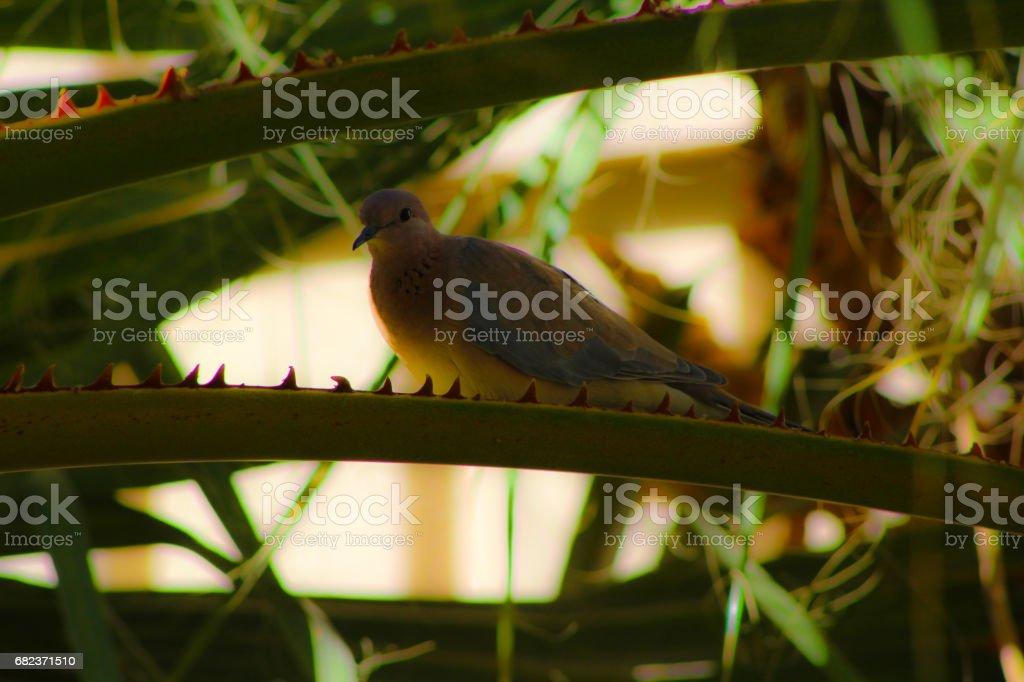 wild brown pigeon stock photo