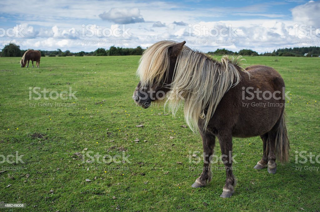 Wild brown grazing at The New Forest, Hampshire, England stock photo