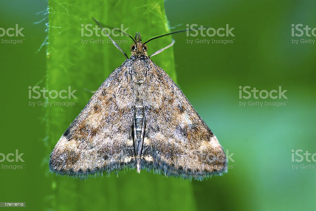 wild brown white butterfly  on a green leaf royalty-free stock photo