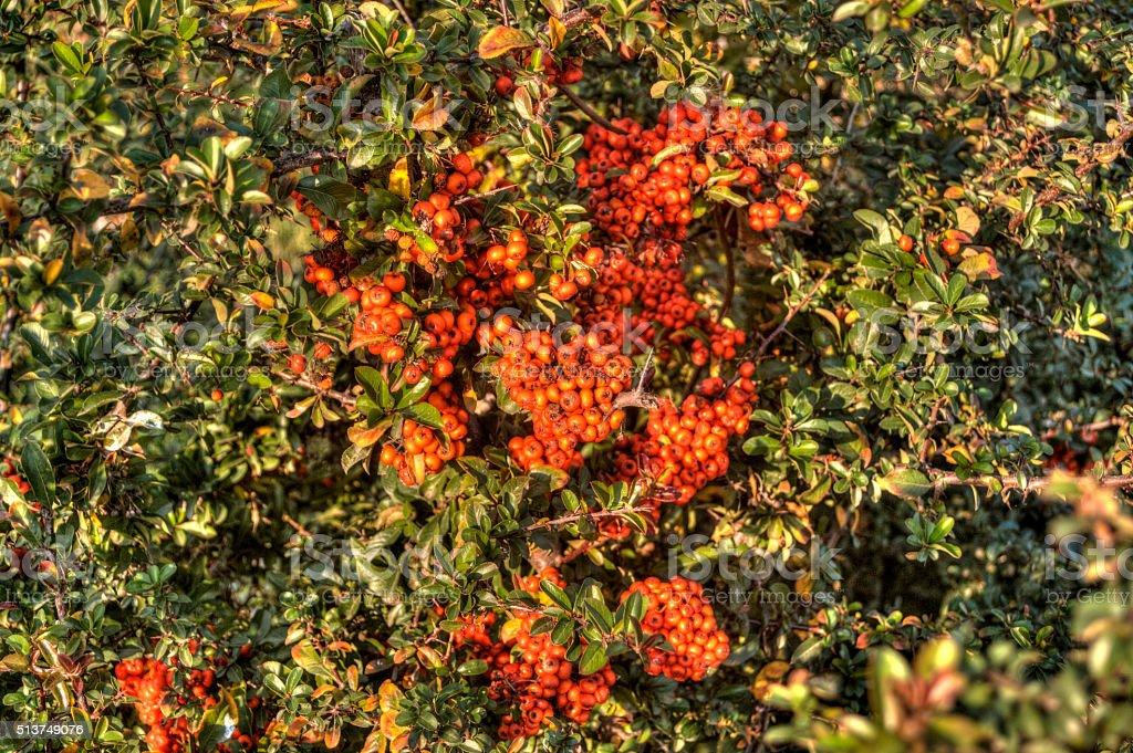 Wild Buckthorn Berries stock photo