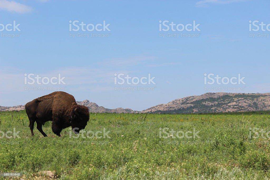 Wild Buffalo grazing stock photo