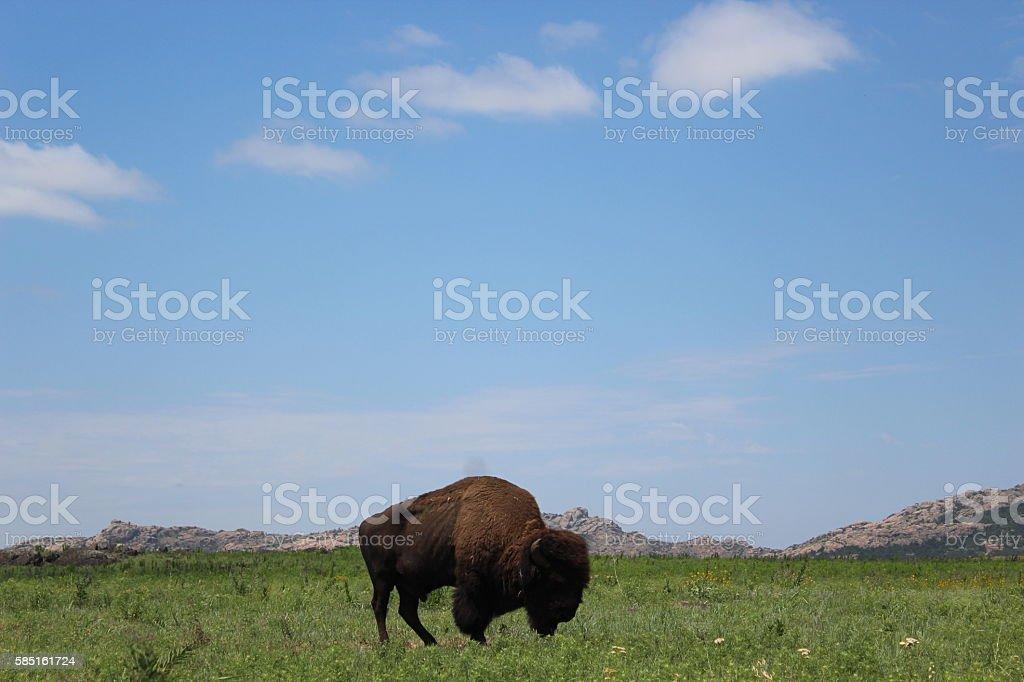 Wild Buffalo stock photo