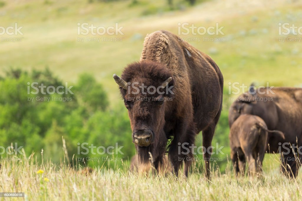 Wild Buffalo stock photo