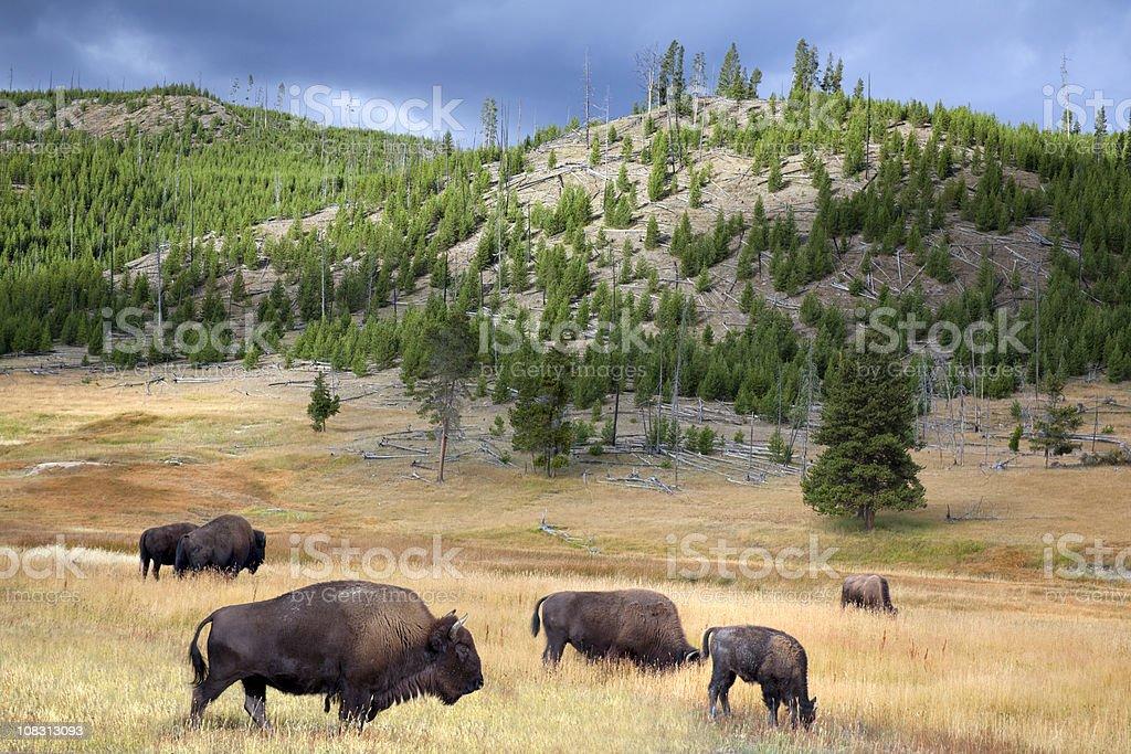 Wild Buffalo Roam and Graze Yellowstone National Park, American West royalty-free stock photo