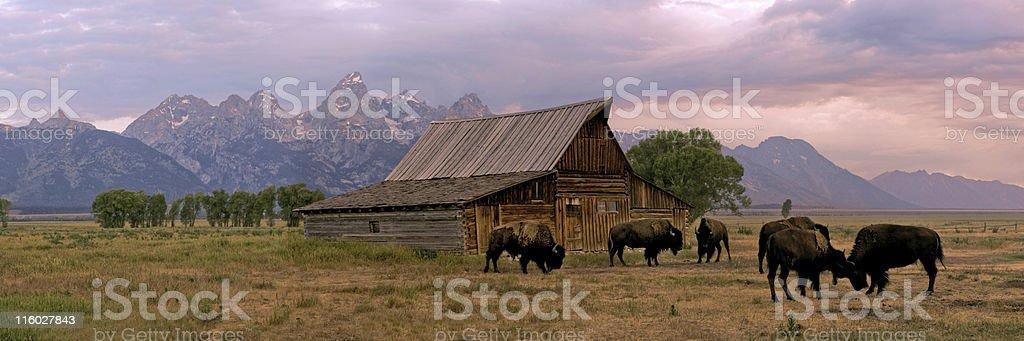 Wild buffalo roaming free at a ranch royalty-free stock photo