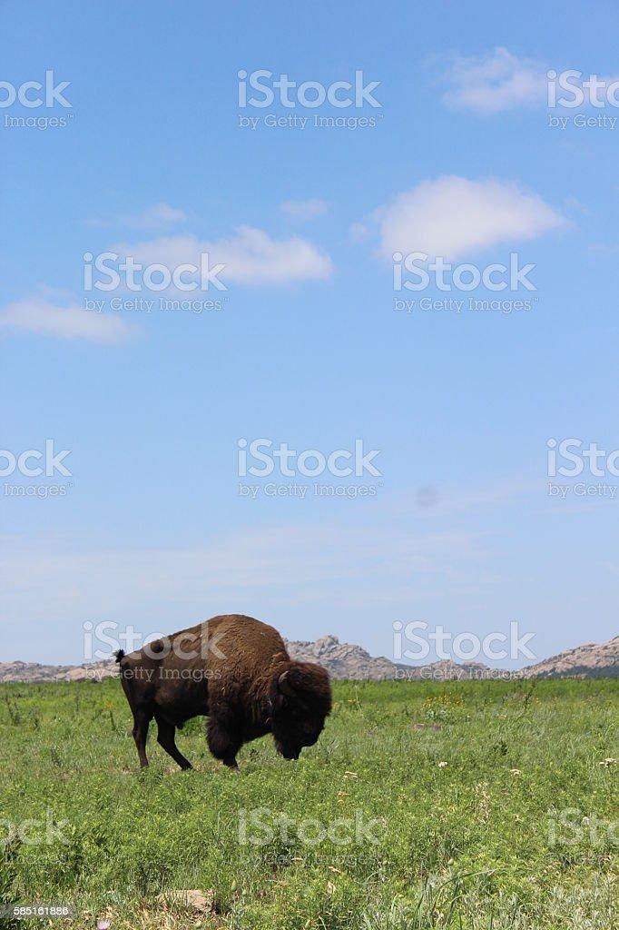 Wild Buffalo Roaming stock photo