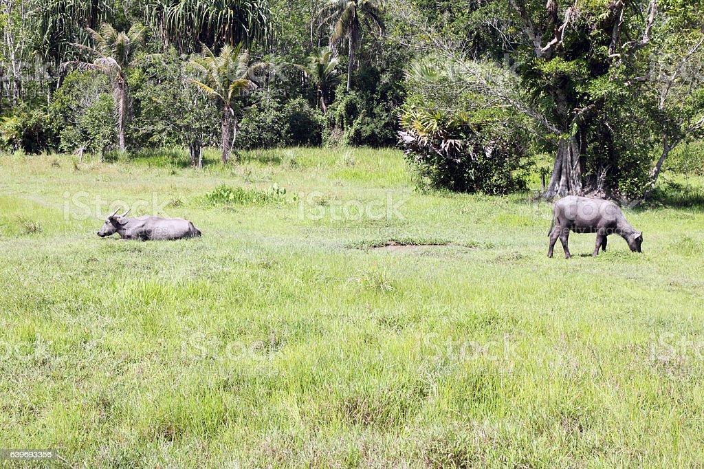 Wild buffaloes stock photo