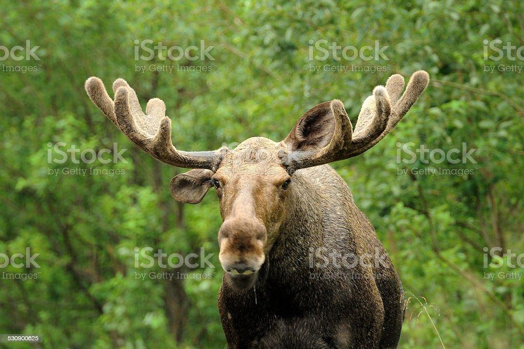 Wild Bull Moose in autumn, stock photo